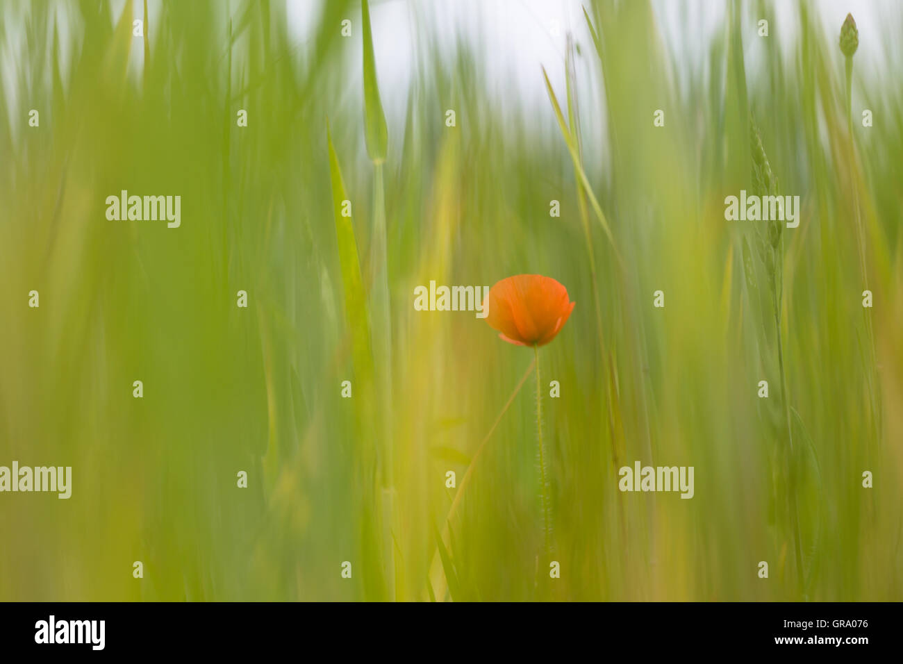 Poppy Blossom In A Field. Artistic Image - Stock Image