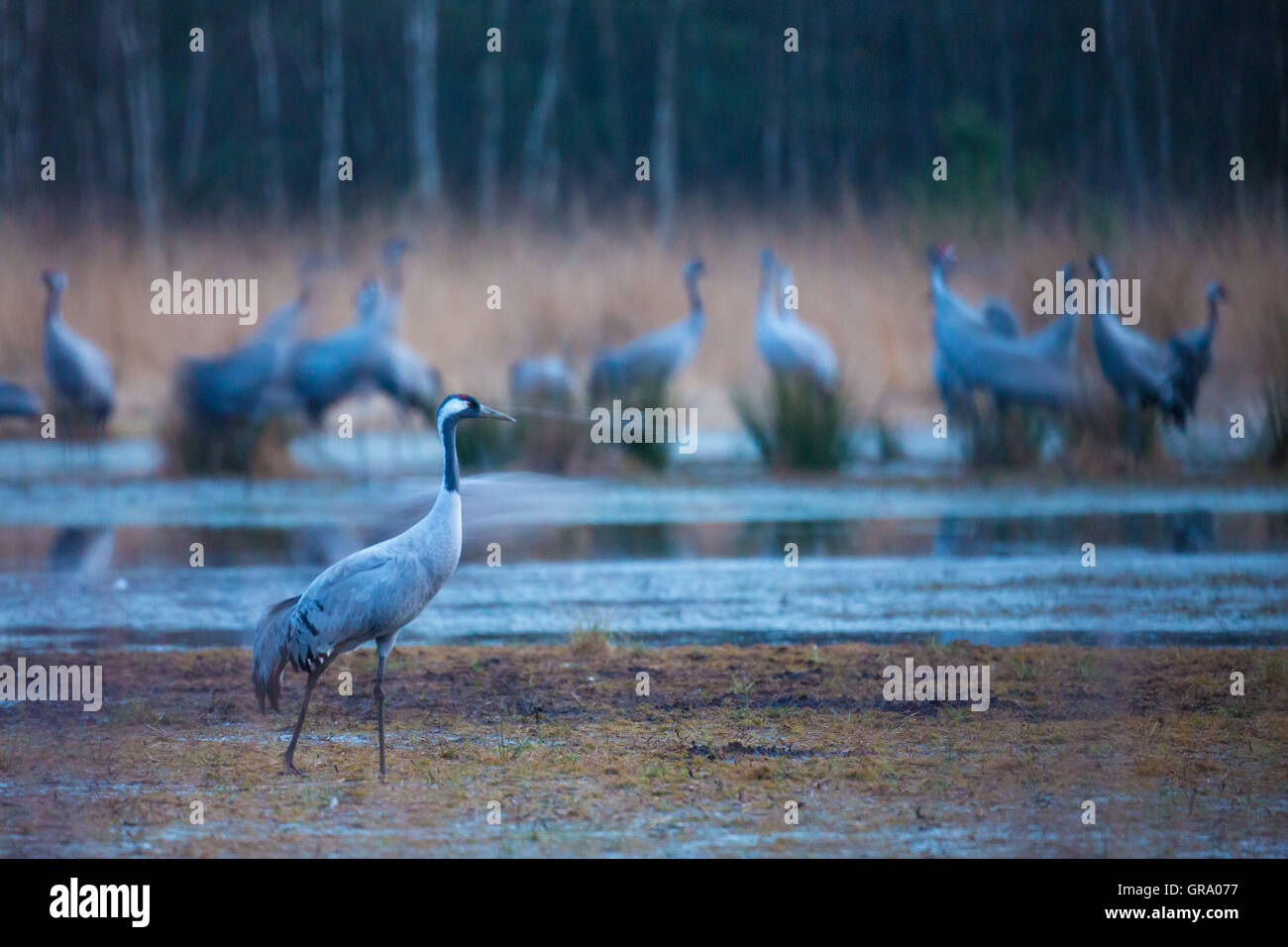 Cranes At The Resting Place In The Swamp - Stock Image