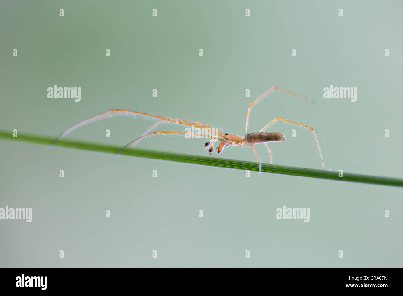 Small Spider On A Blade Of Gras - Stock Image