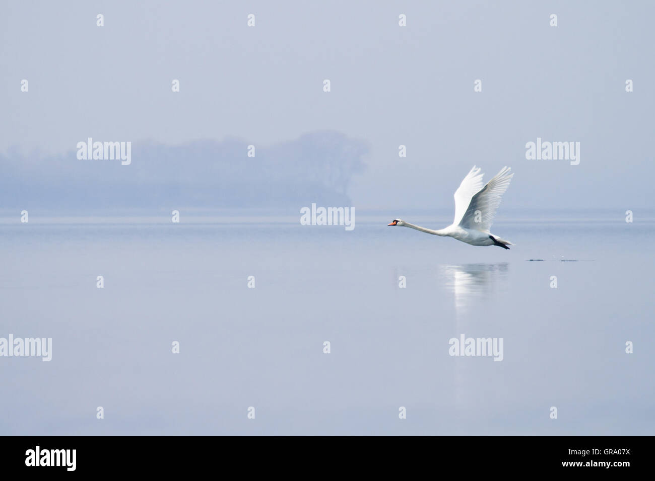 Swan Is Flying Over Flat Water - Stock Image