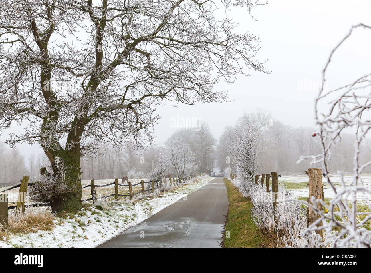 Small Road In Winter With Fields And An Old Oak With Lots Of Hoarfrost - Stock Image