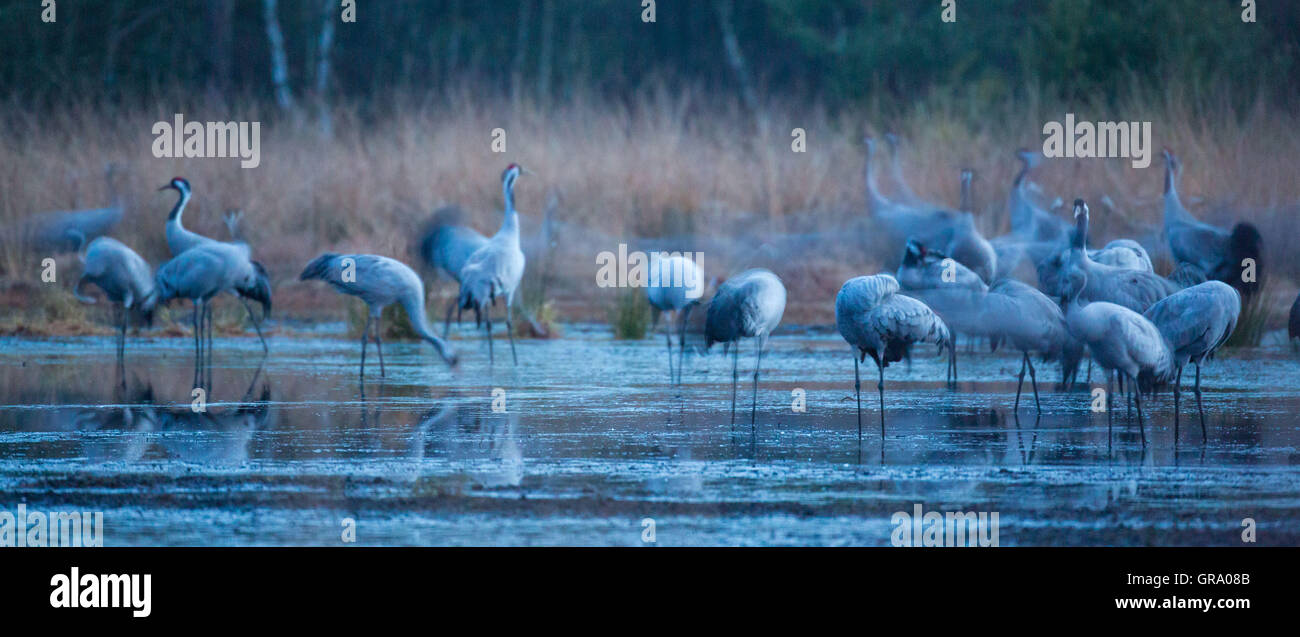 Common Cranes In A Swamp - Stock Image