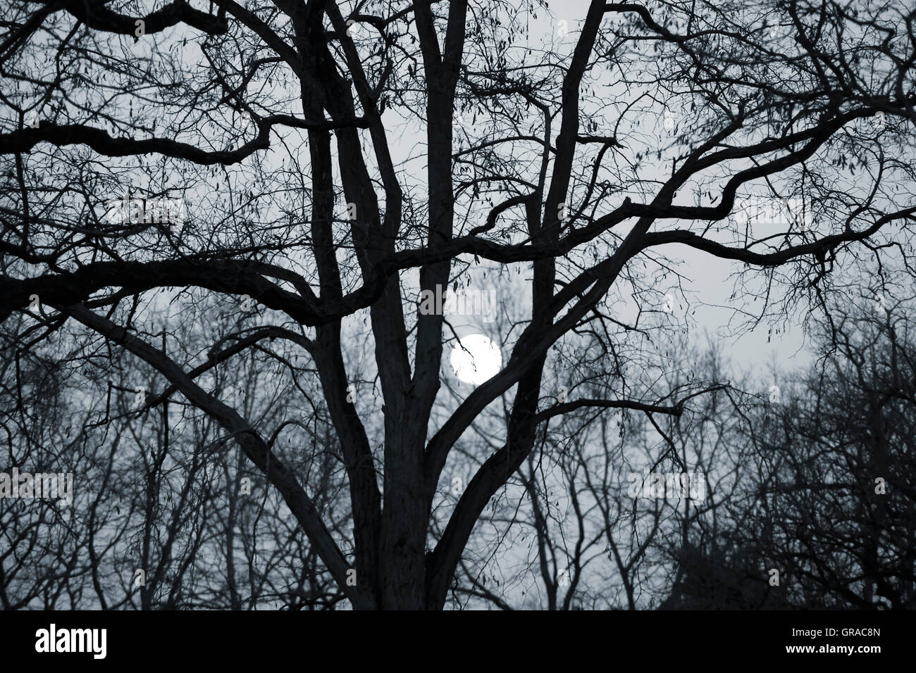 Moon Between The Branches - Stock Image