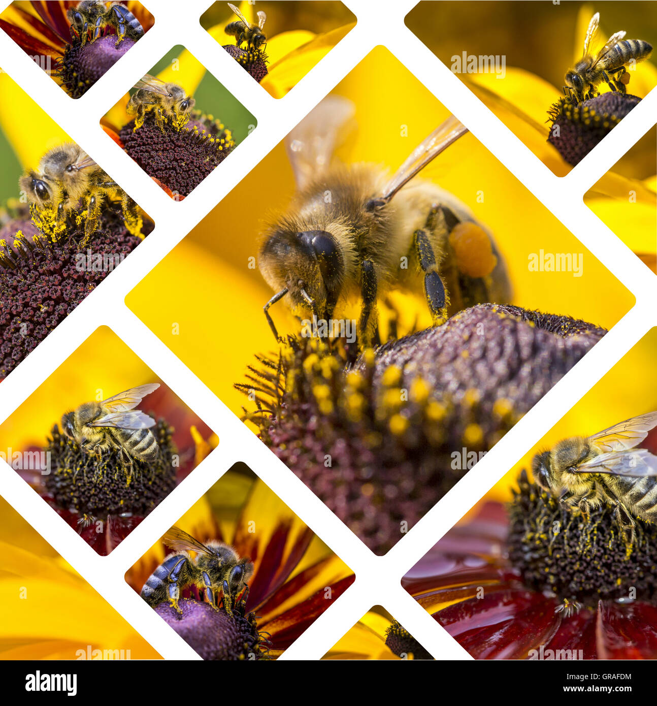 Collage of Western Honey Bee images - travel background (my photos) - Stock Image