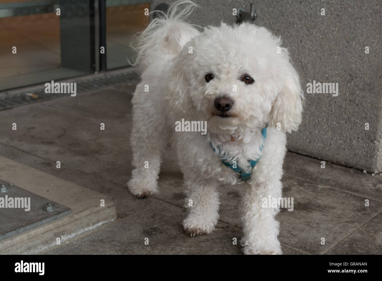 White Poodle Curious Before Shop - Stock Image