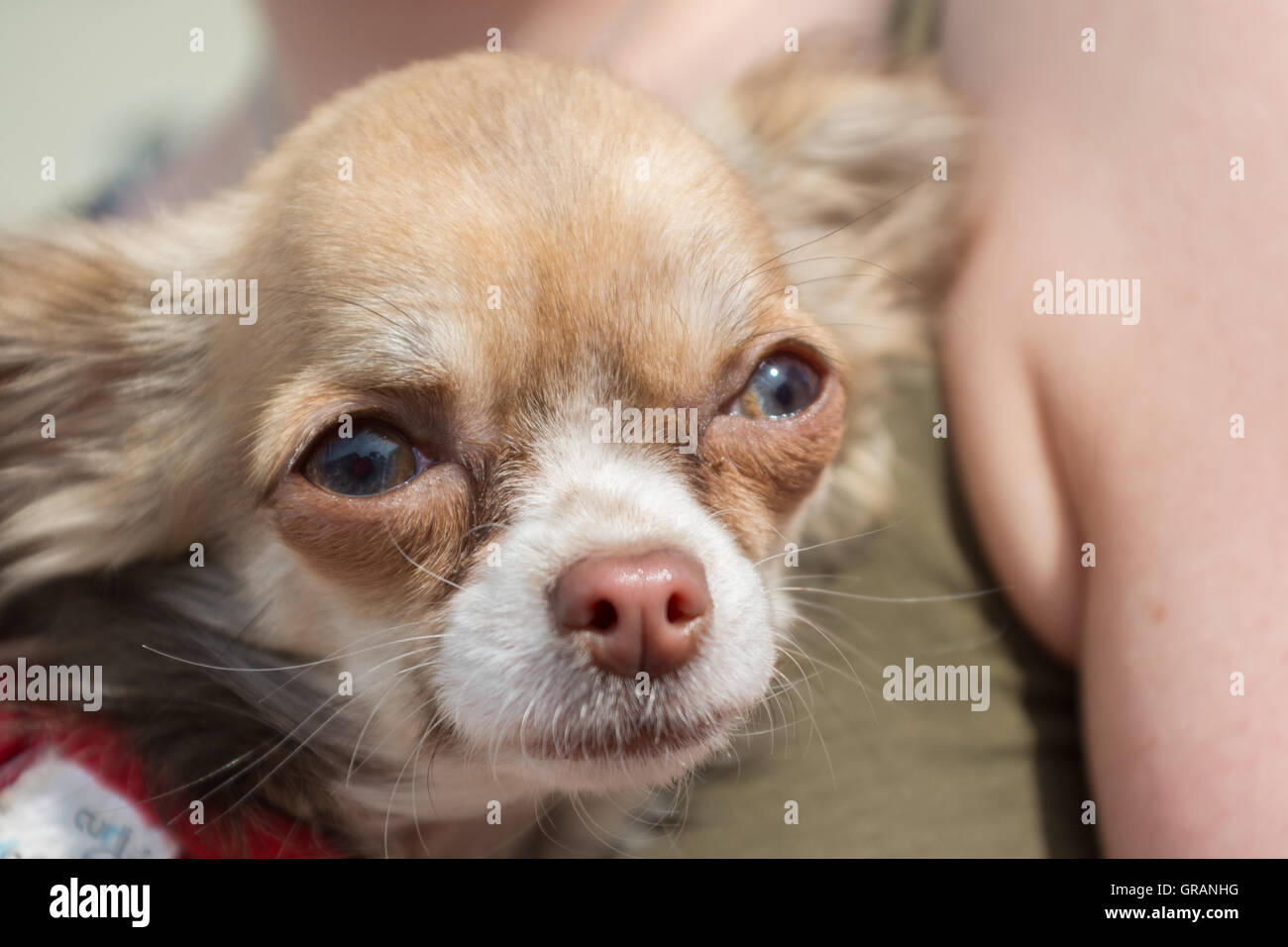 Portrait Of A Chihuahua Dog - Stock Image