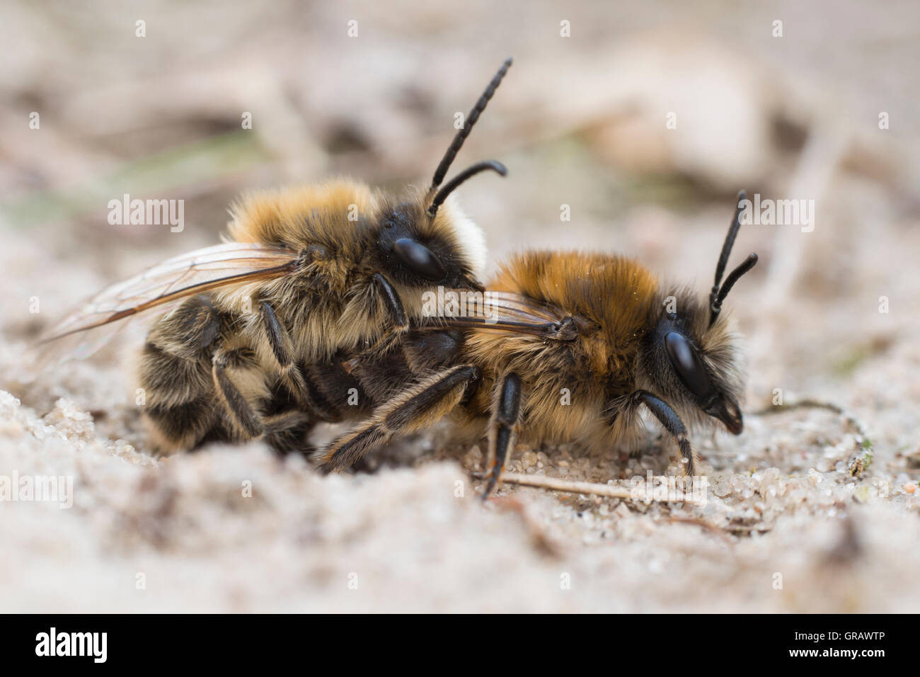 Bee, Andrena Barbilabris - Stock Image