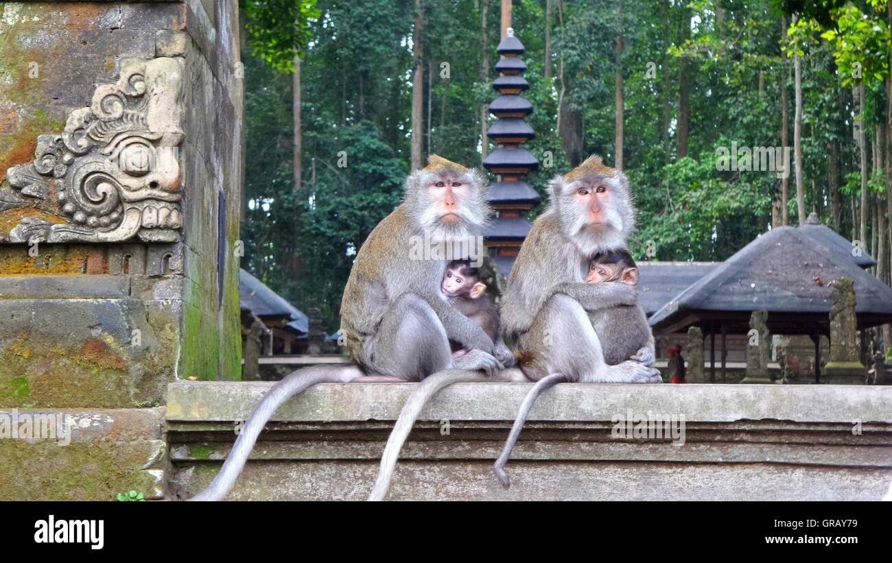Portrait Of Monkeys With Infants Sitting In Temple - Stock Image