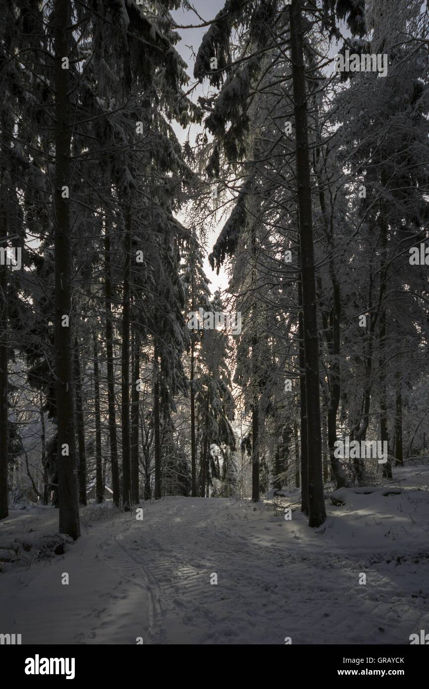 dark winter forest in the backlight franconian forest upper stock