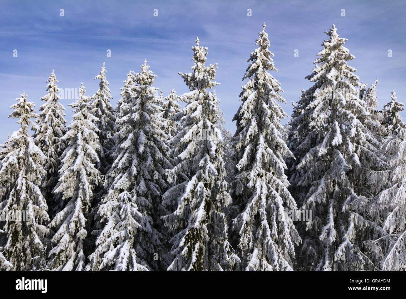 Snow-Covered Spruces In The Franconian Forest On The Radspitze - Stock Image