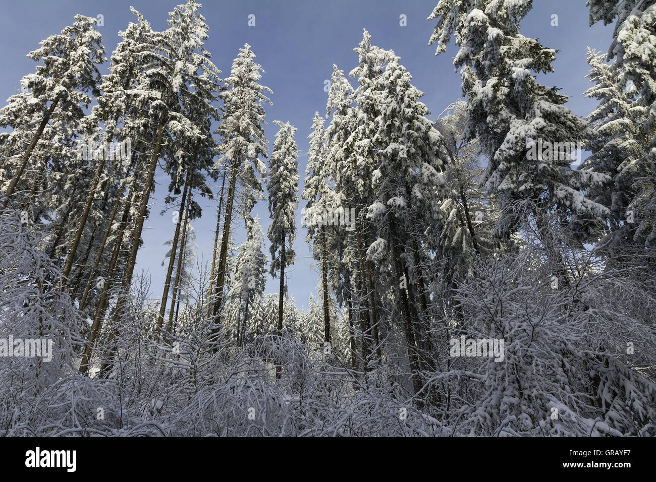 Snow-Covered Spruces On The Radspitze In Franconian Forest - Stock Image