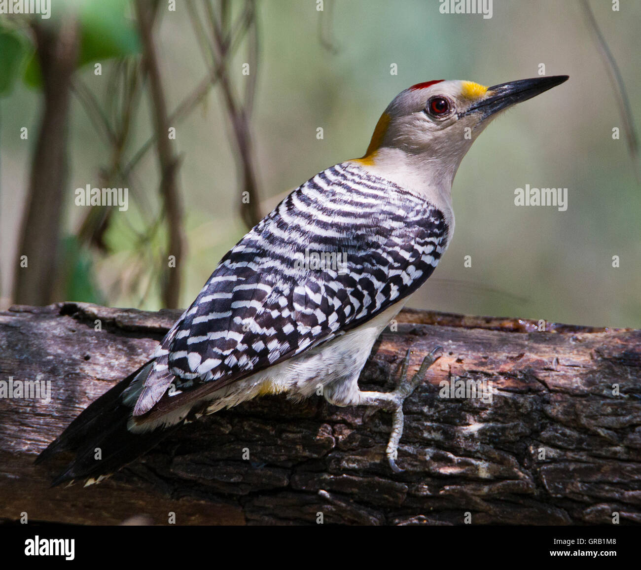 Golden-fronted Woodpecker (Melanerpes aurifrons) on a fallen tree trunk in Weslaco,Texas Stock Photo