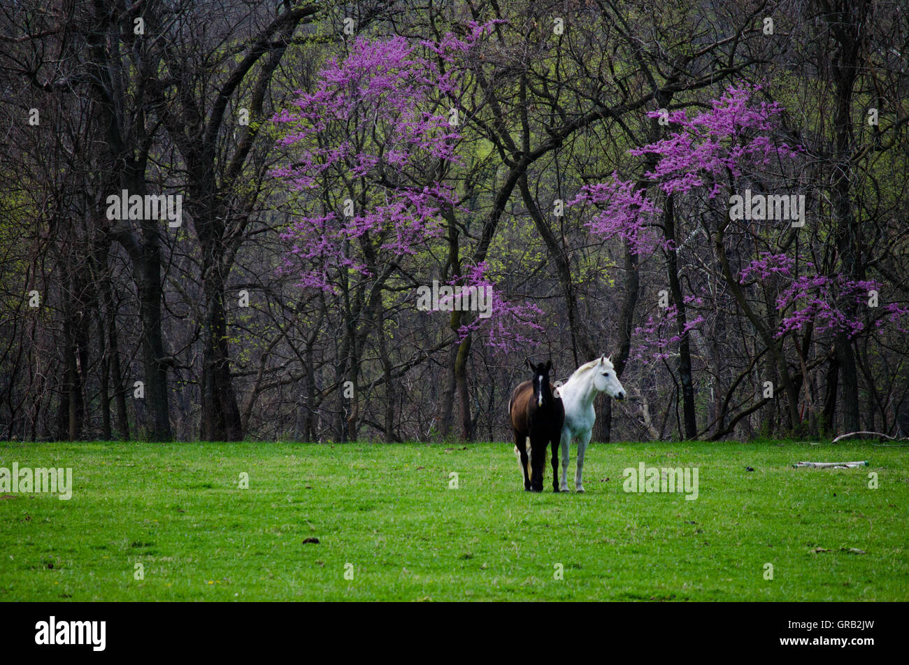 Two horses show companionship. - Stock Image