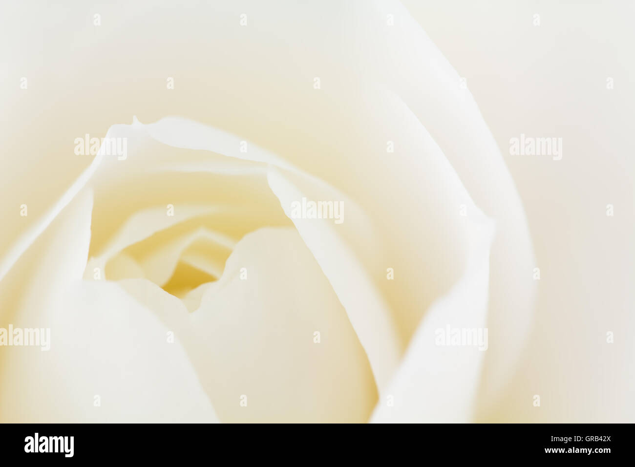 Macro of double white Camellia japonica blossom. - Stock Image