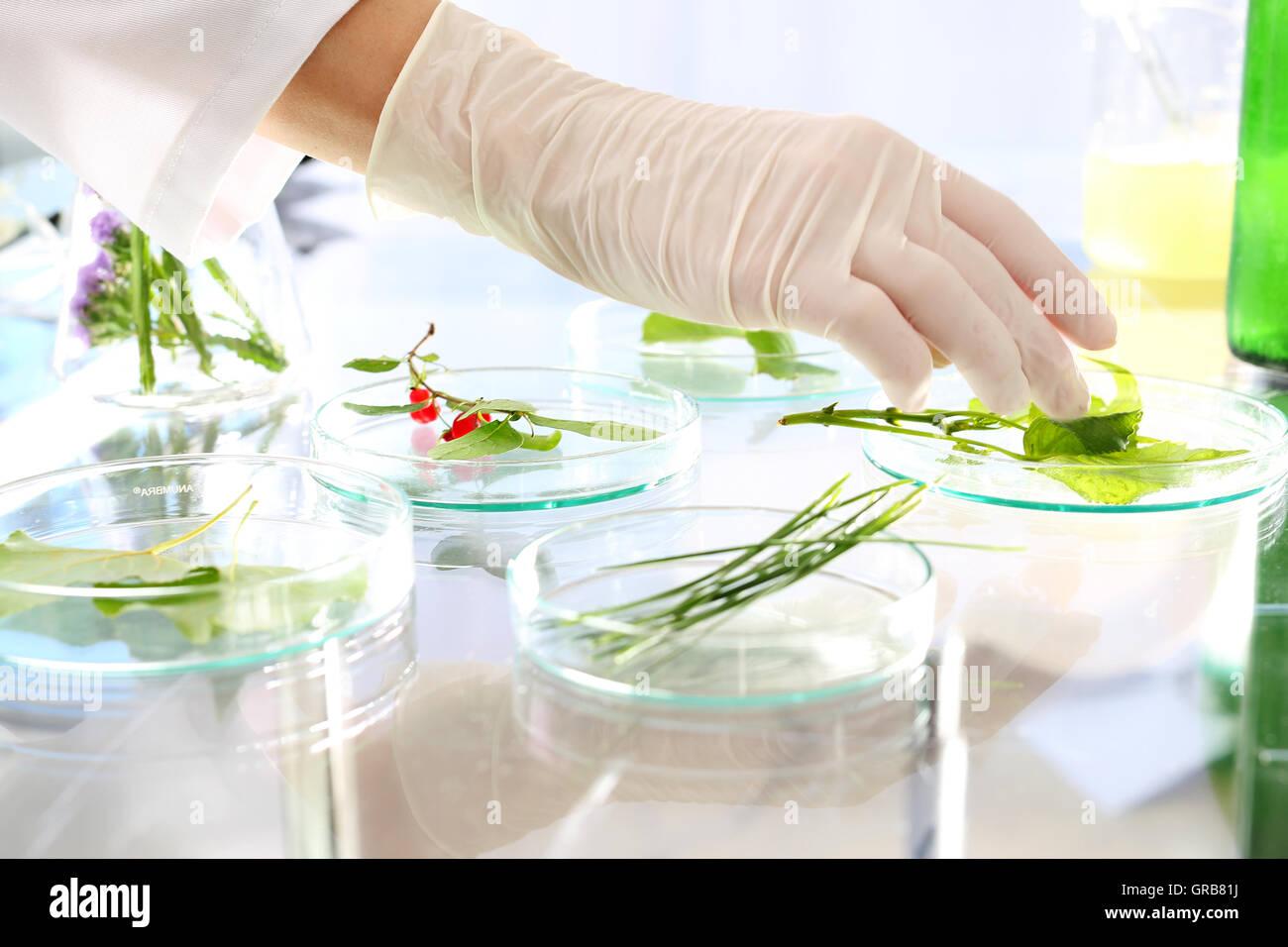 Genetically modified plants. - Stock Image