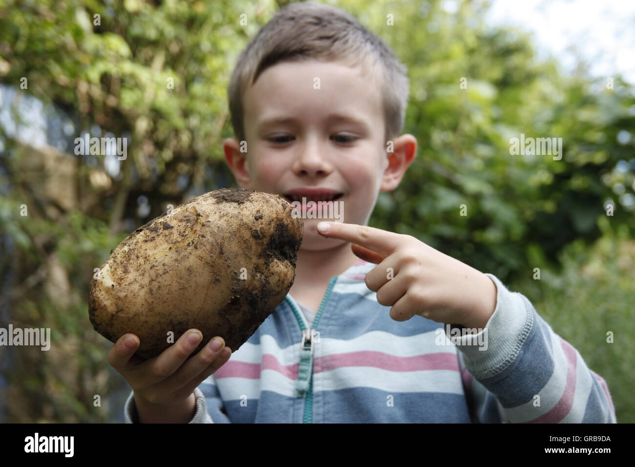 8 year old boy holding very large home grown potato Beverley, Yorkshire - Stock Image