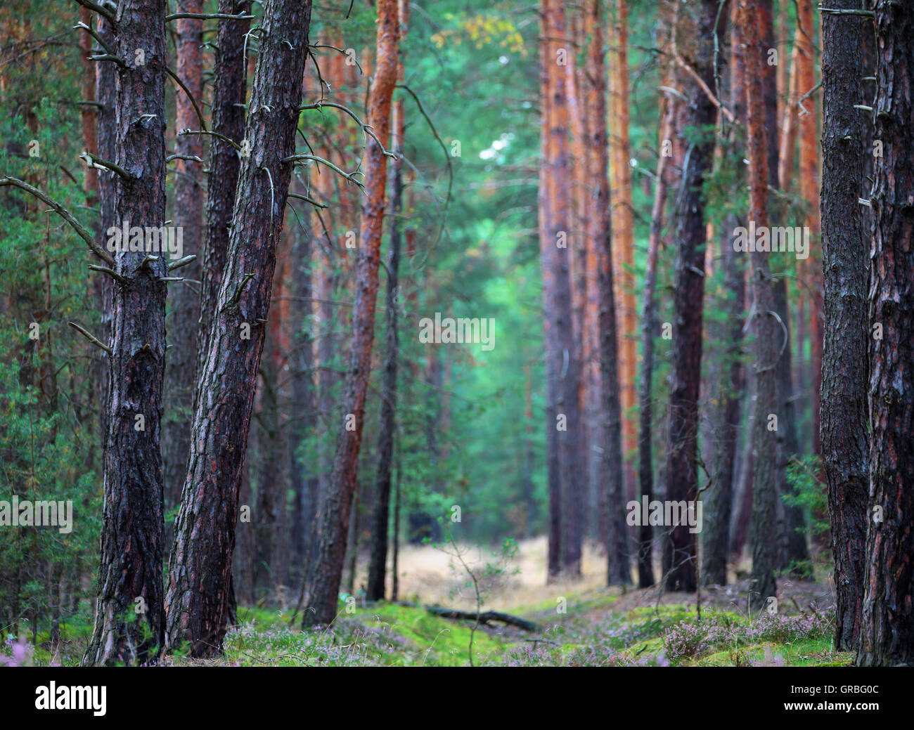 Pine forest - Stock Image