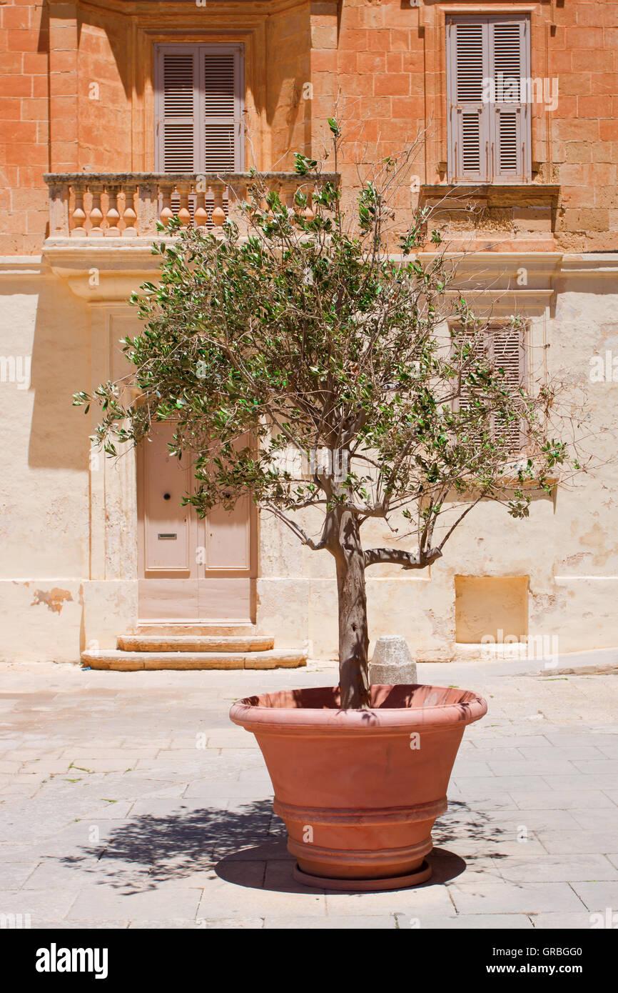 Olive Tree Pot Stock Photos & Olive Tree Pot Stock Images ...