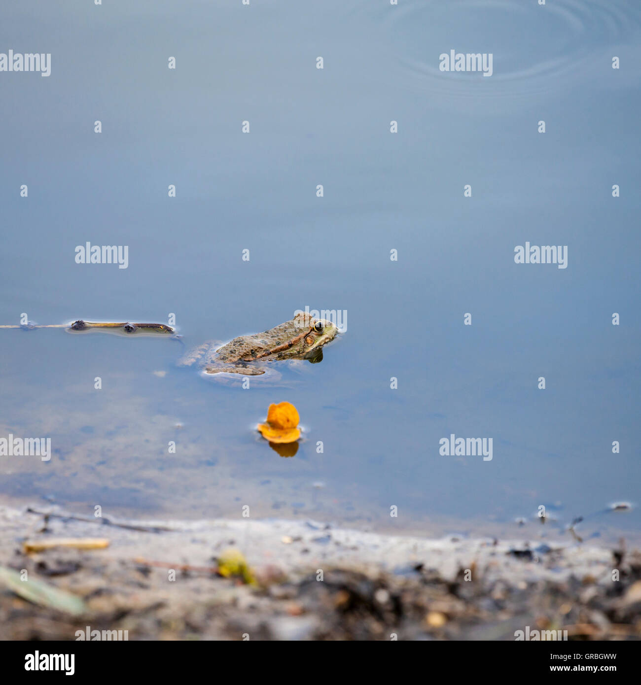 Frog in the lake Stock Photo