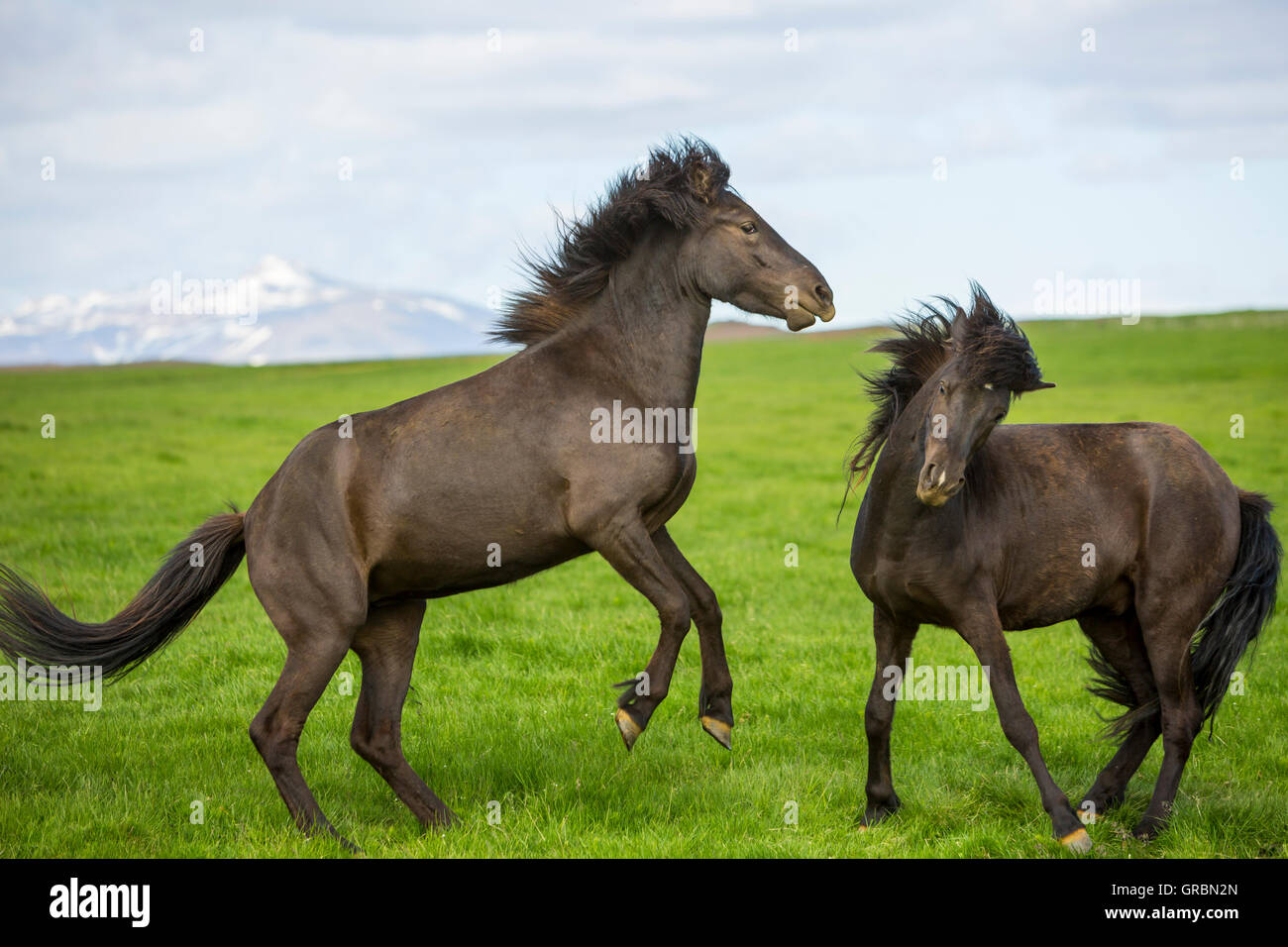 Icelandic horses Iceland, South West Iceland, Golden Circle tour, Evolved from ponies taken to Iceland in the 9th - Stock Image