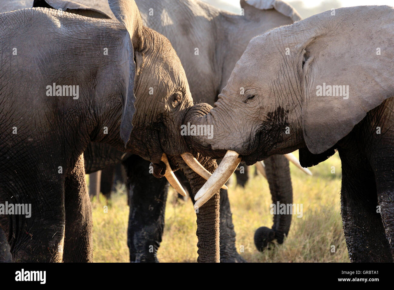 Playful And Tenderly Young Elephants In Amboseli National Parc - Stock Image
