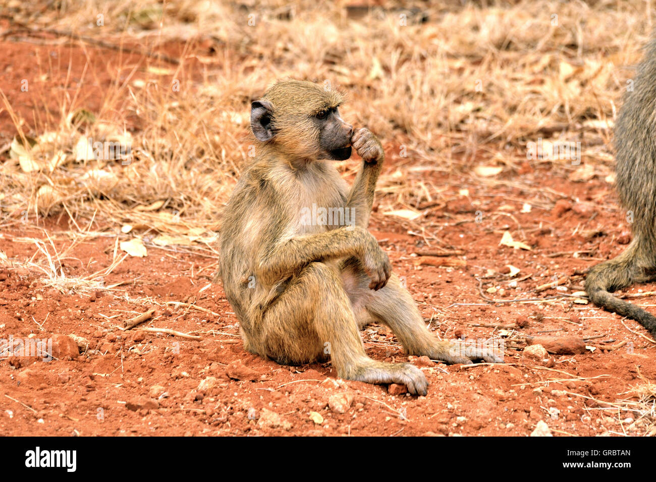 Yellow Baboon Looks Bored And Musing - Stock Image