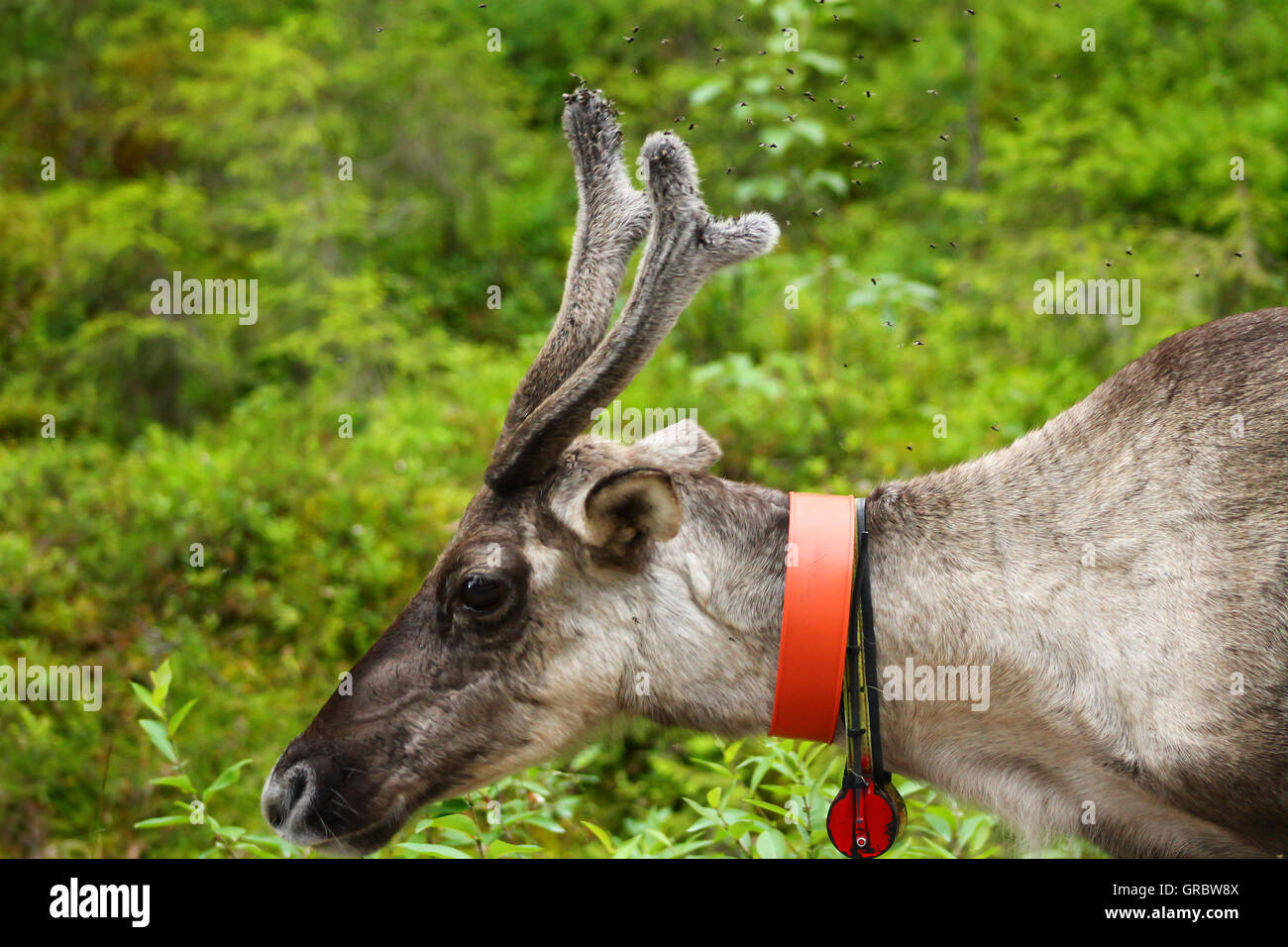 Reindeer has problems with 'few' flies. This reindeer tries to shoo the flies that are teasing it - Stock Image