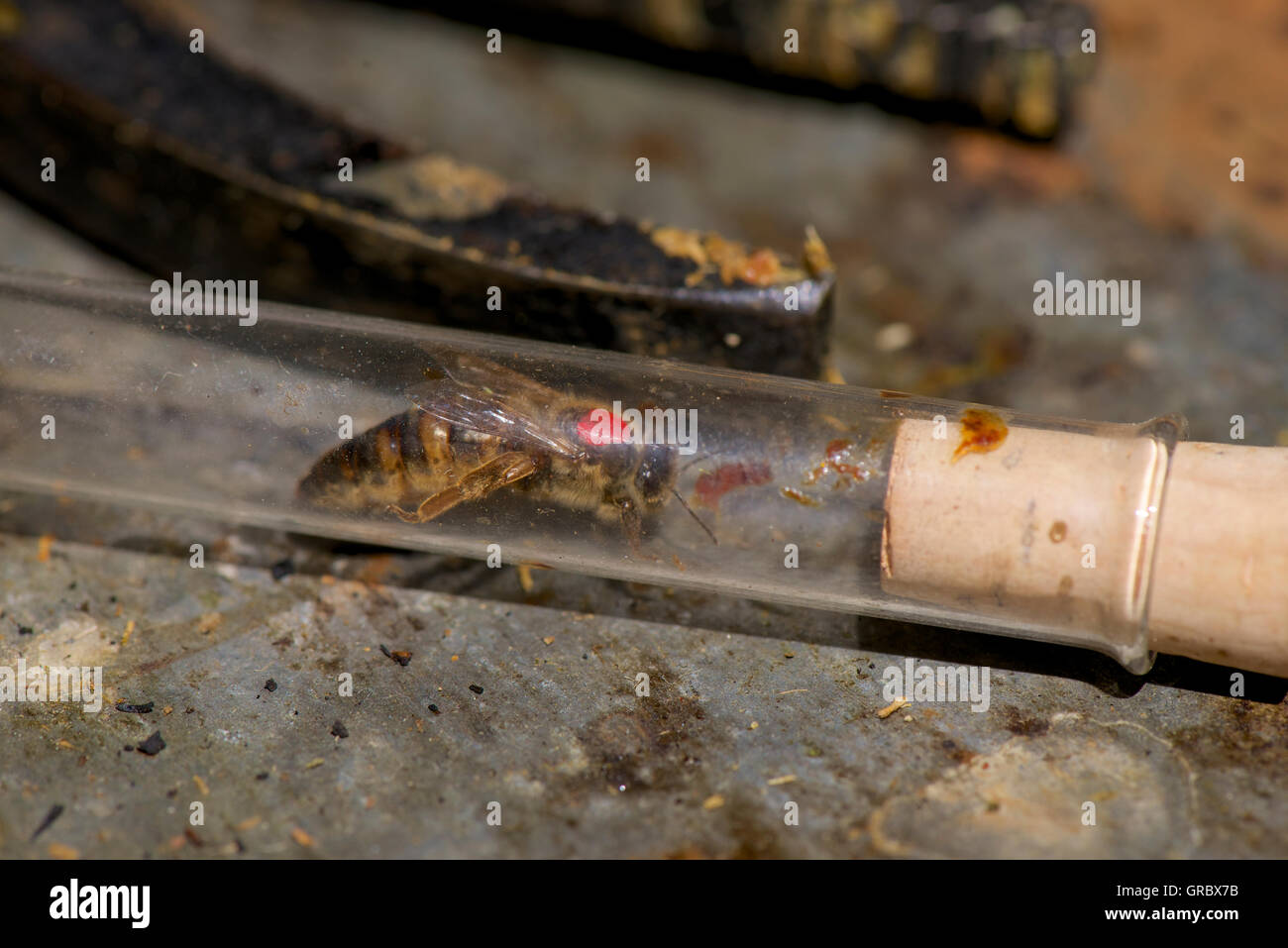 Red Marked Queen Bee In A Glass Tube - Stock Image