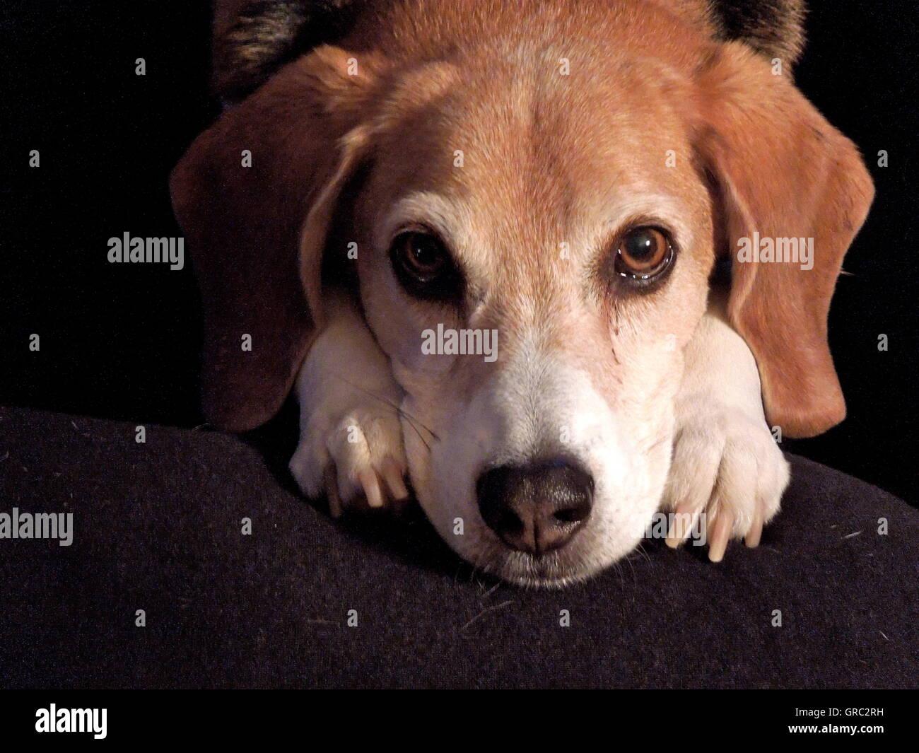 Loyal Beagle Looking At His Master - Stock Image