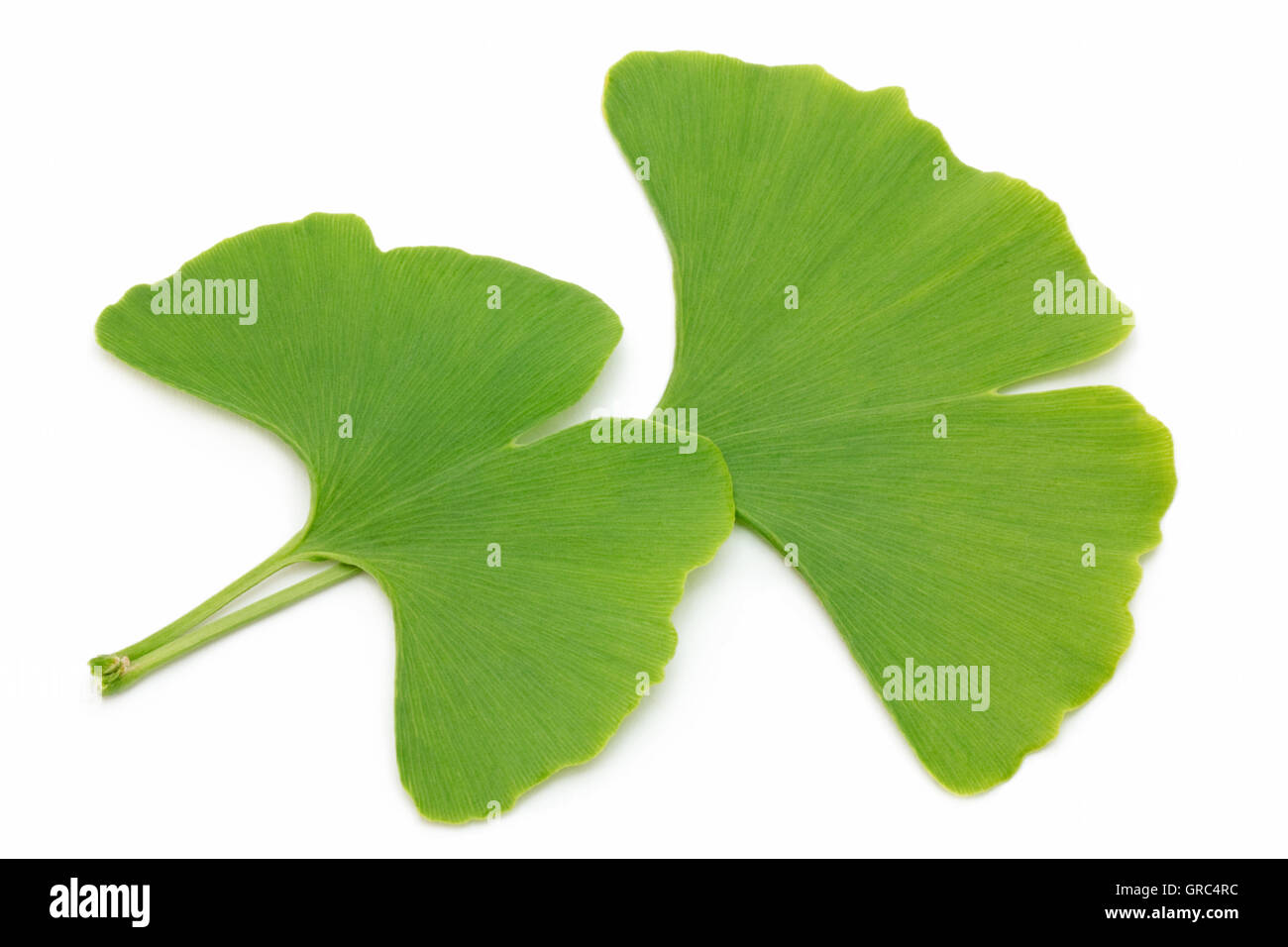 Two Fresh Ginkgo Leaves Isolated On White Background Stock Photo