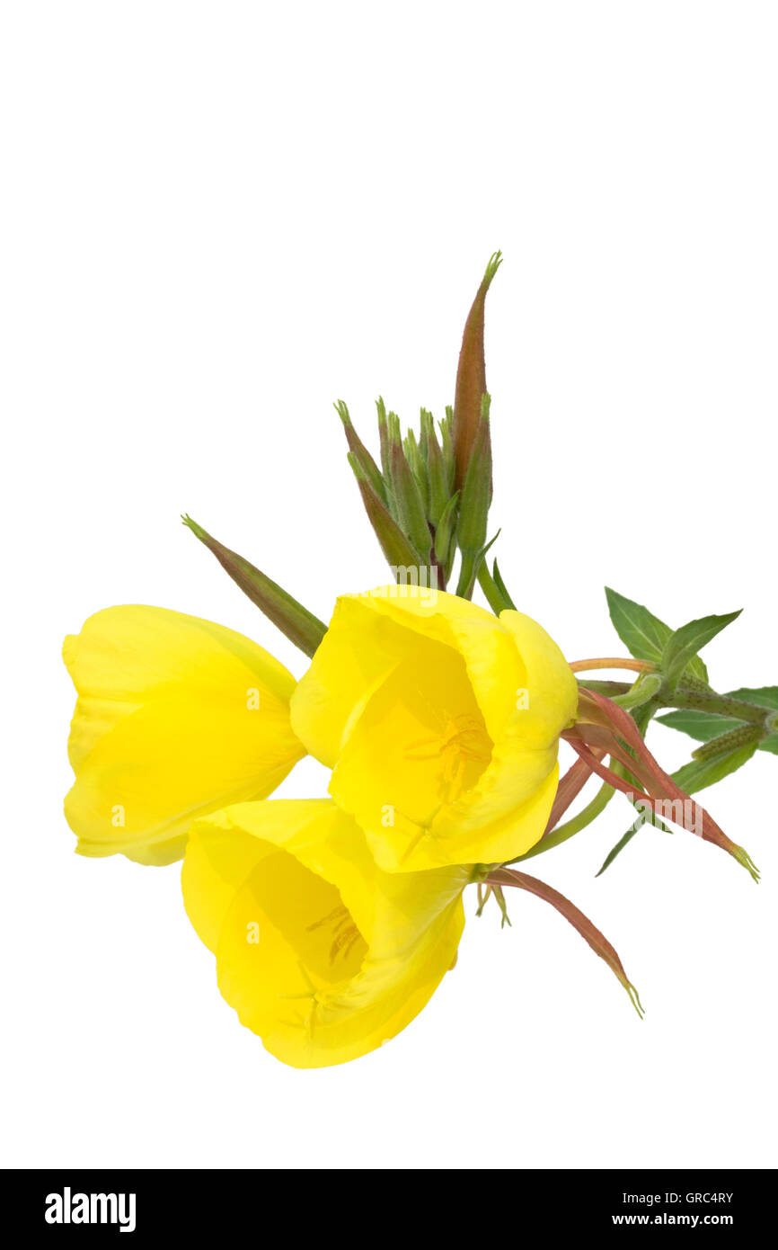 Three Evening Primrose Blossoms Isolated On White Background Stock Photo