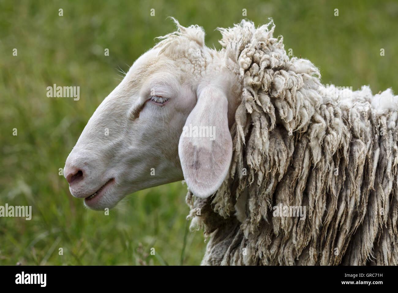 Merino Sheep - Stock Image
