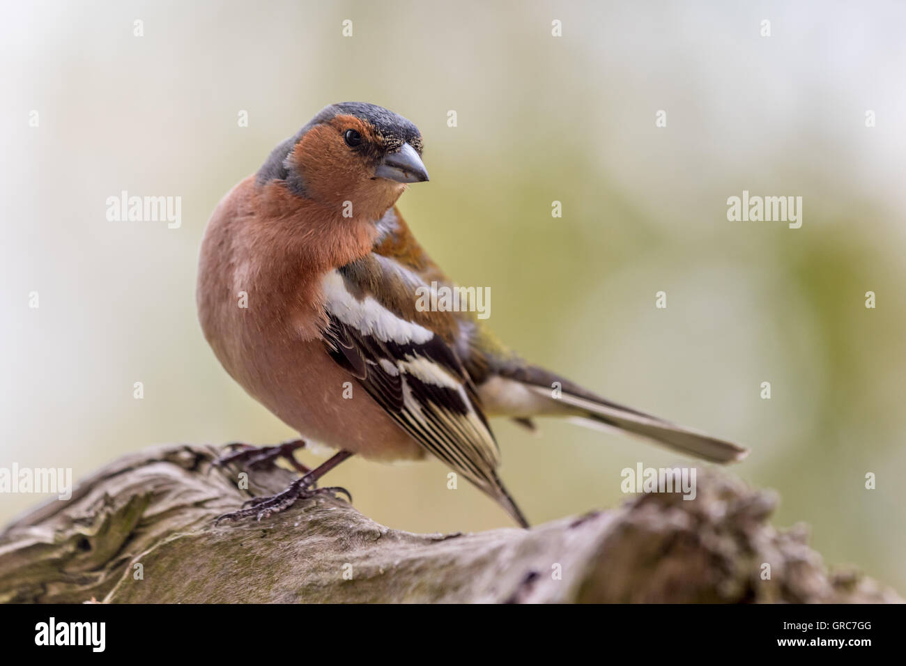 More Attentive Chaffinch - Stock Image
