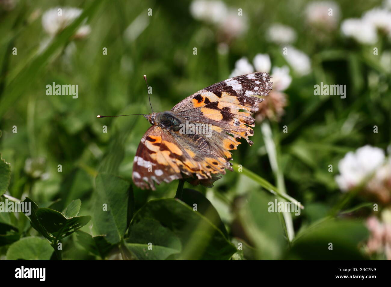 Painted Lady On White Clover - Stock Image