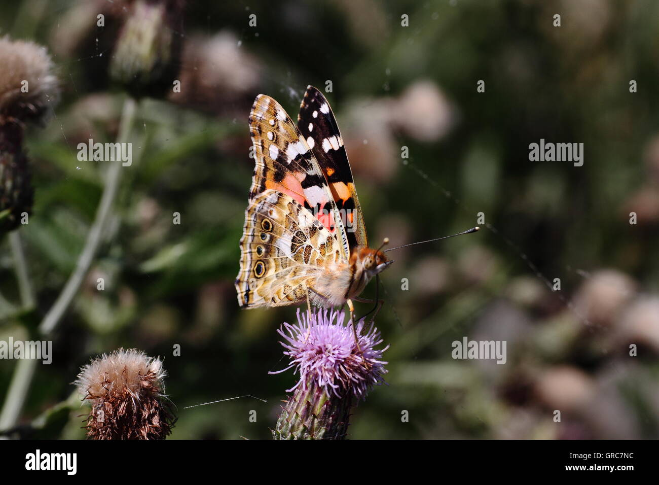 Painted Lady On Thistle - Stock Image