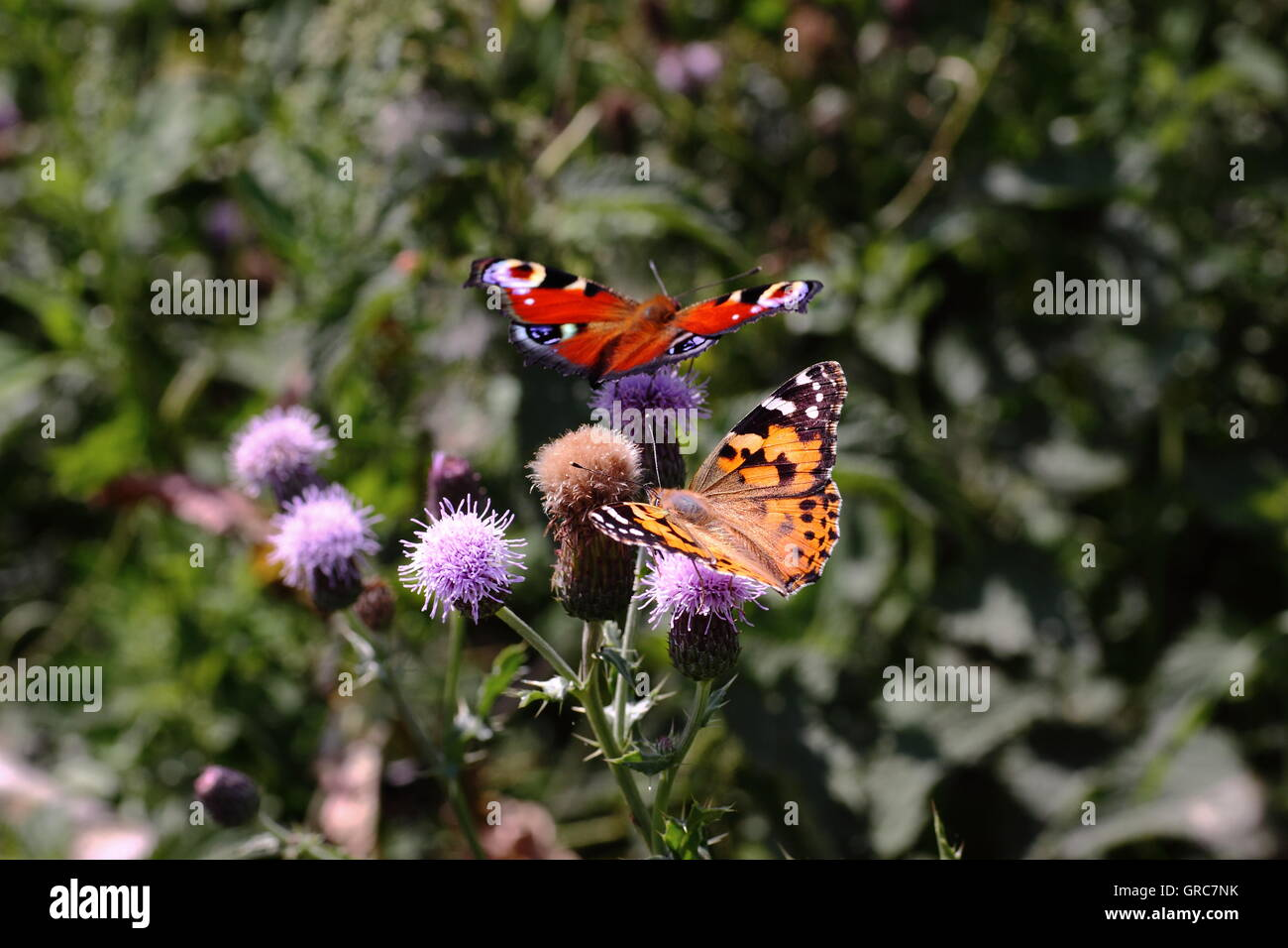Painted Lady And Peacock Butterfly - Stock Image