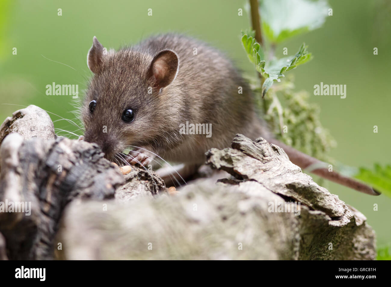 Mouse In Search Of Food - Stock Image
