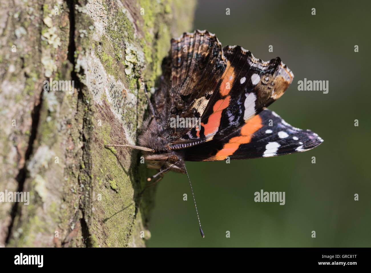 Admiral On A Tree Trunk - Stock Image
