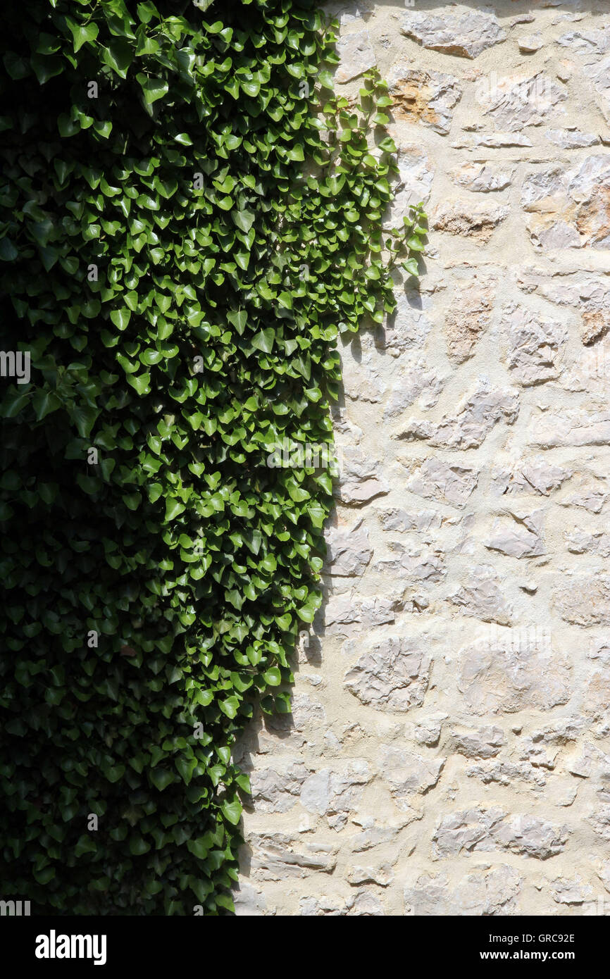 Ivy On A Wall - Stock Image
