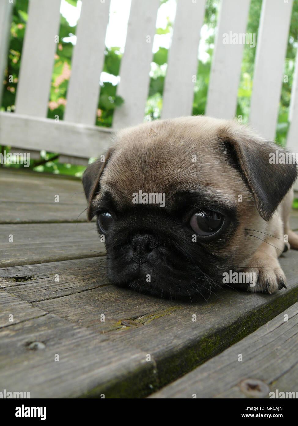 Beige Pug Puppy - Stock Image