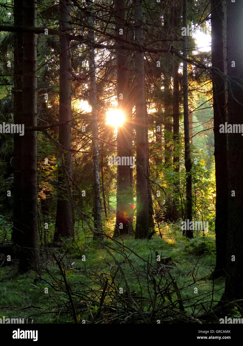 Forest, Rising Sun Shining Through The Trees - Stock Image