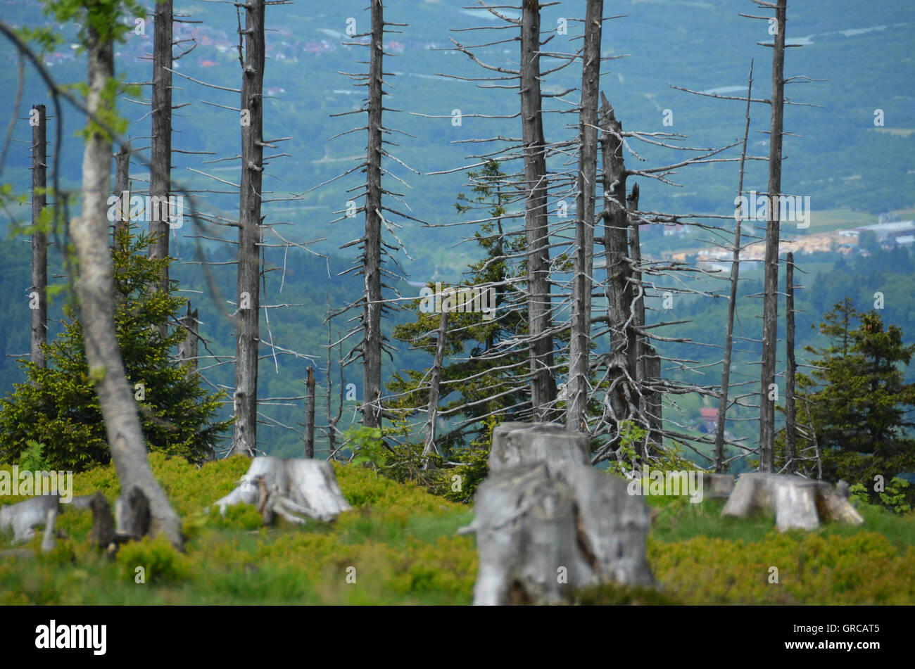 Tree Skeleton, Forest Decline - Stock Image