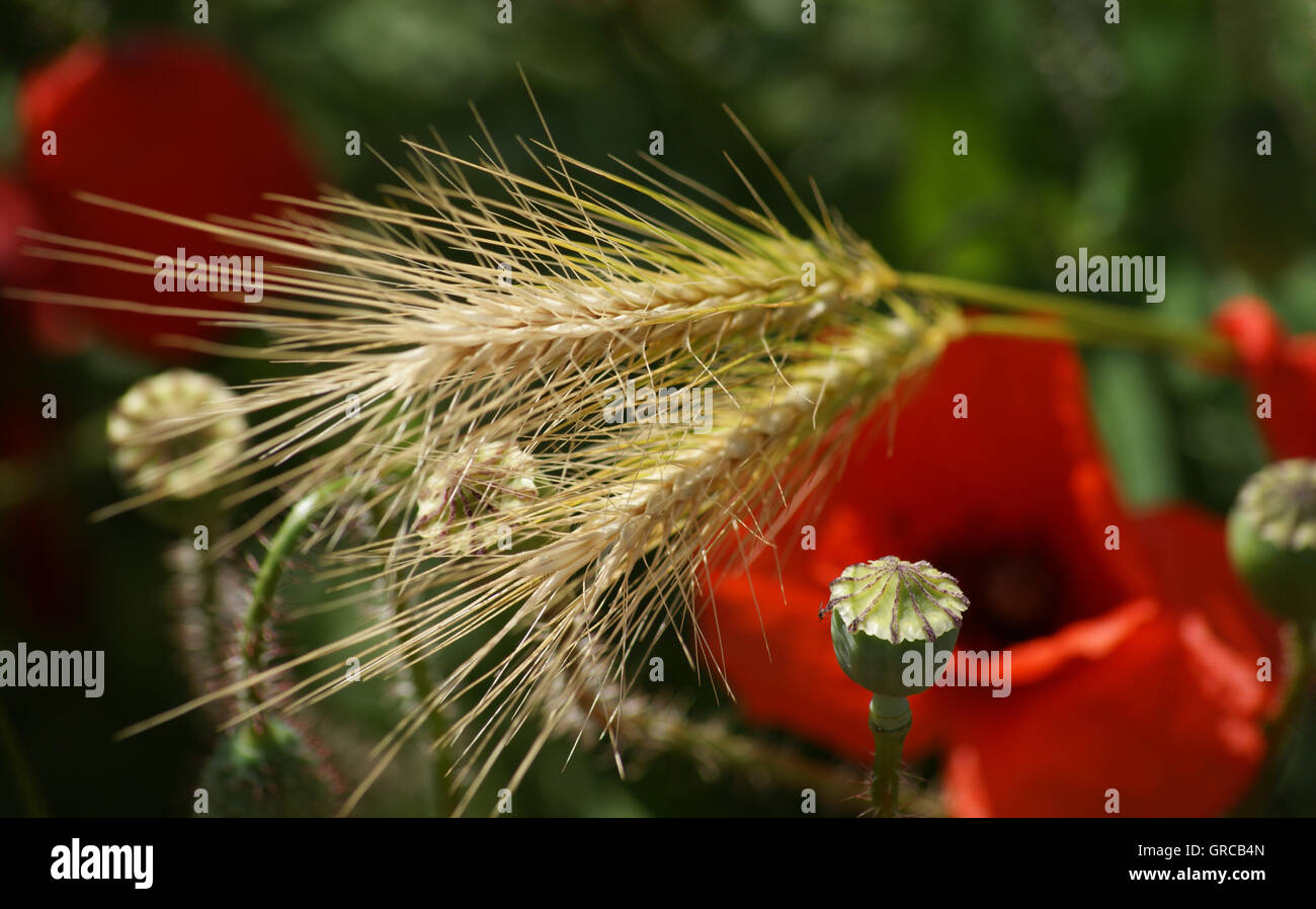 Poppies And Ears Of Corn In Front Of Green Background - Stock Image