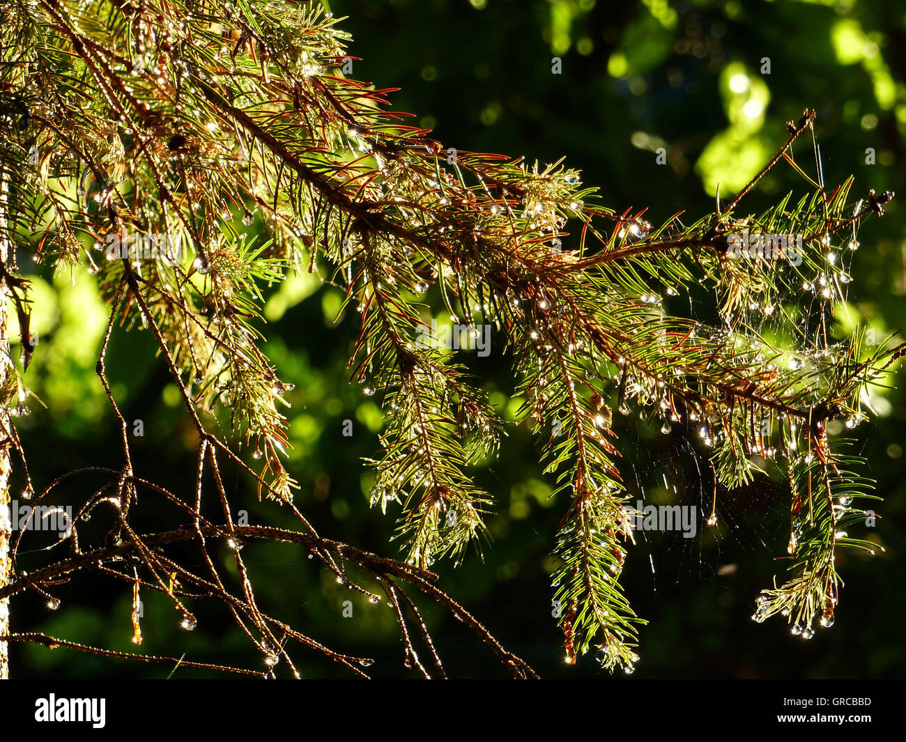 Spruce Branch With Glistening Dewdrops - Stock Image