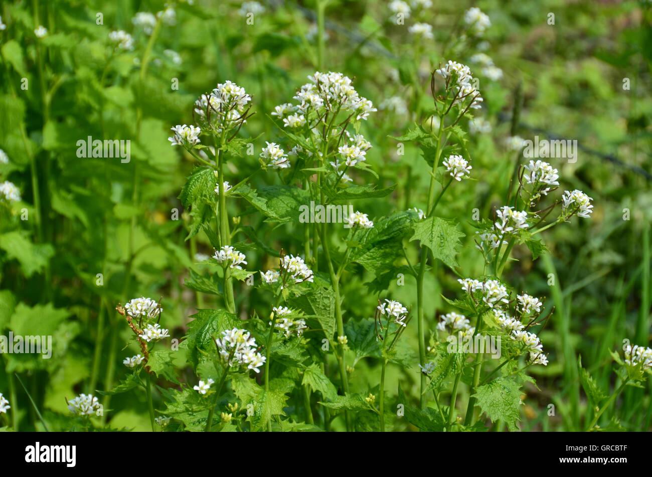 Flowering Garlic Mustard, Alliaria Petiolata, Eatable Herbs Stock Photo