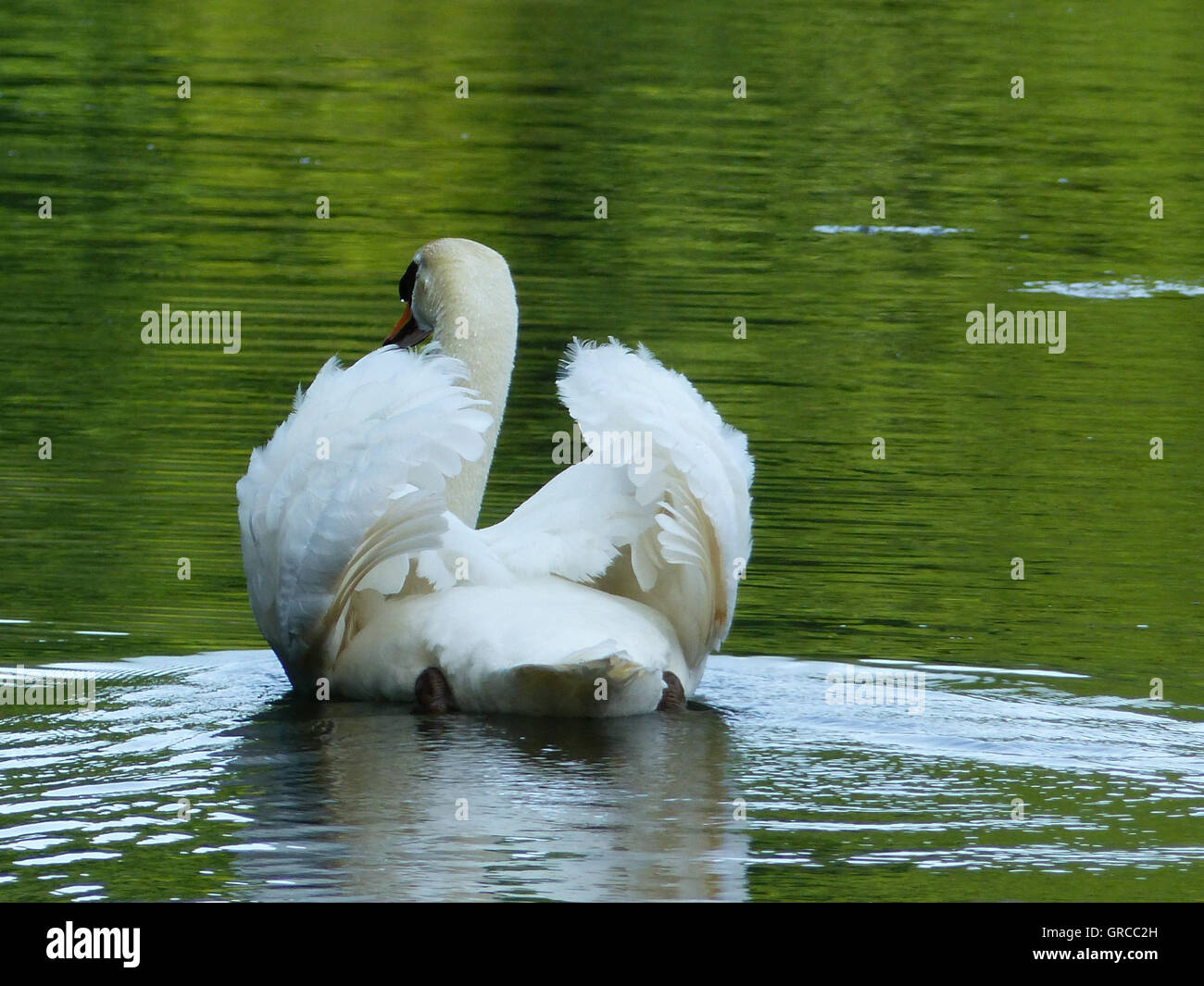 Swan Fluffs Up Its Feathers And Swims - Stock Image