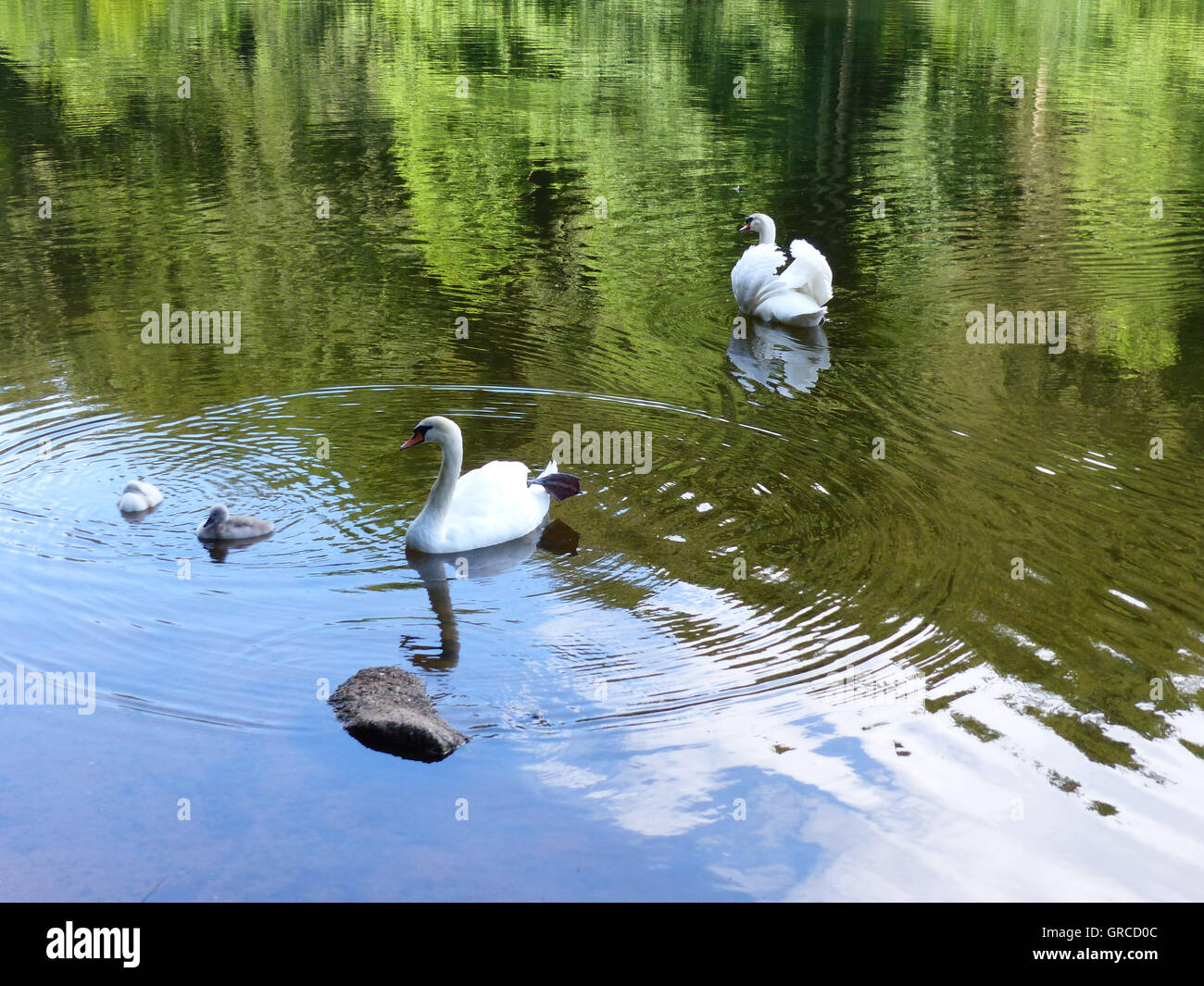 Swan Familiy With Two Swan Chicks Which Are Two Weeks Old - Stock Image