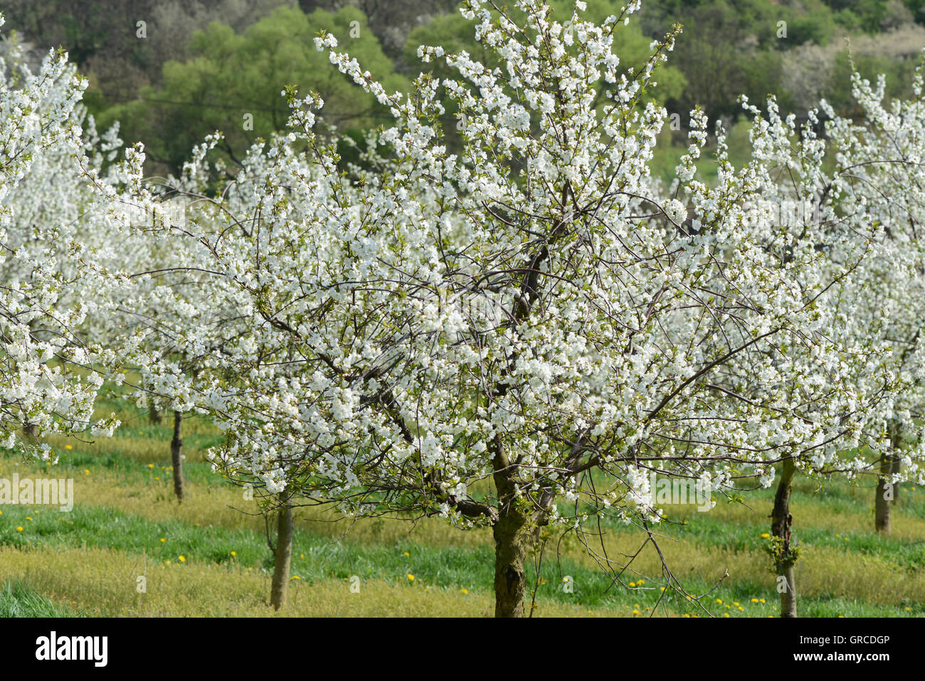 Flowering Fruit Trees Stock Photo 117673382 Alamy