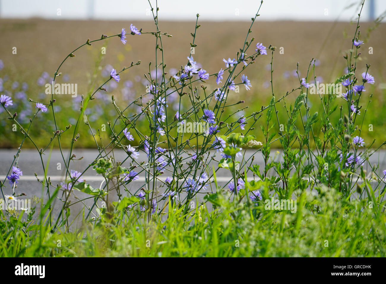 Chicory, Cichorium Intybus Chicory, In Homeopathy As Digestive And Hepatobiliary Diseases - Stock Image