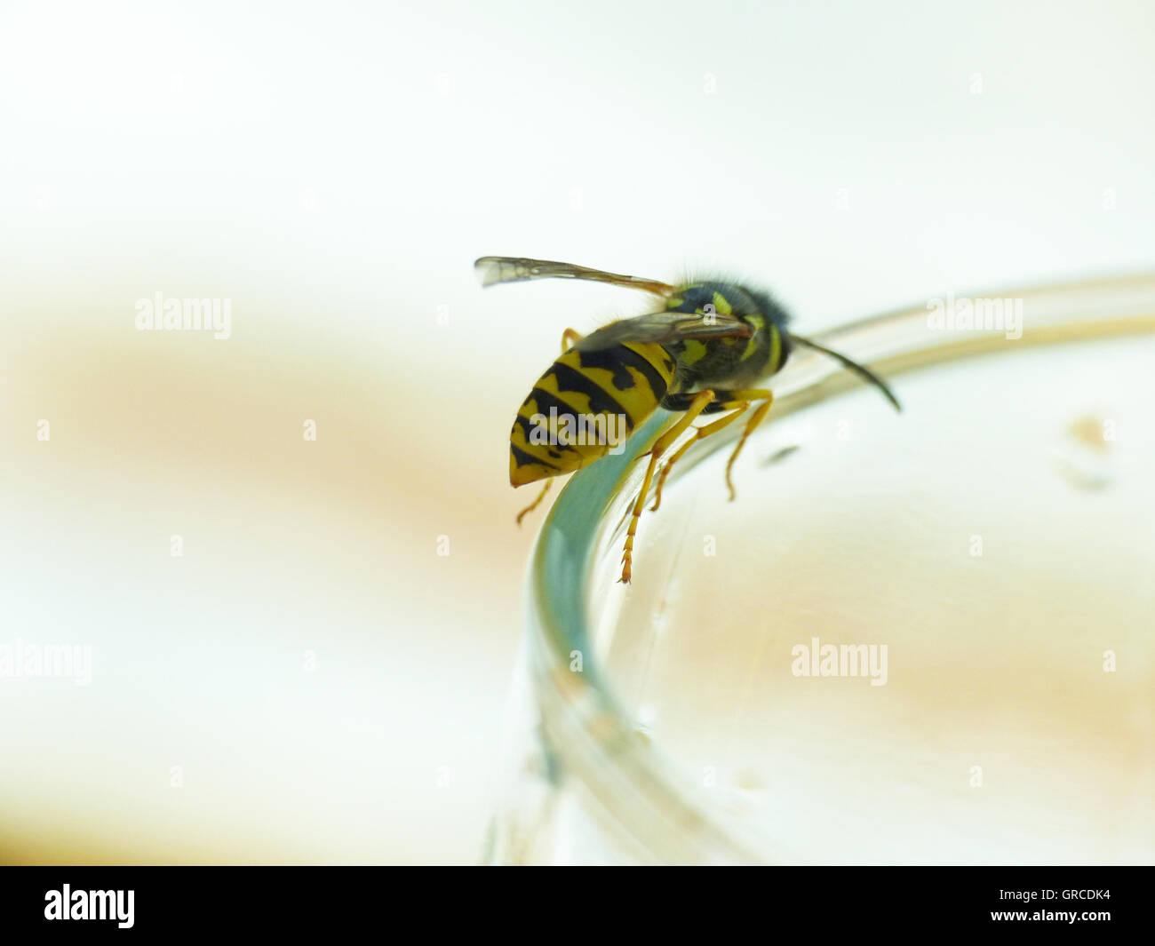 Wasp On Glass Stock Photos & Wasp On Glass Stock Images - Alamy